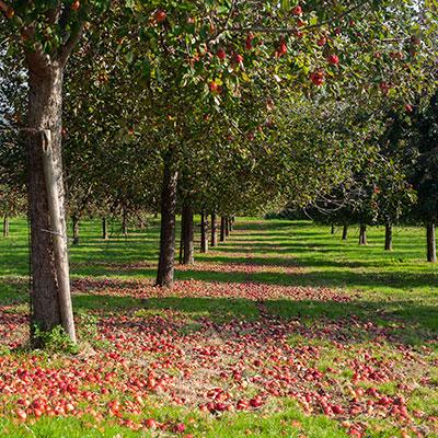 Fallen Apples in Orchard